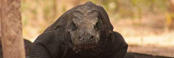 Los más fuertes de la Isla: los dragones de Komodo